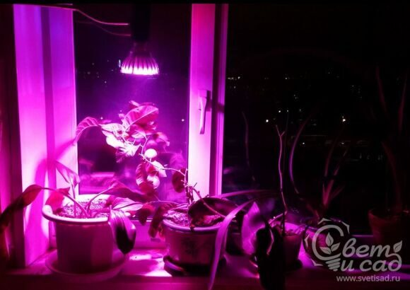 LED-grow-lamp-sapfir-24w-nad-zvetami_1